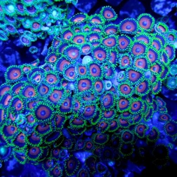 Zoanthids coral
