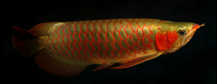 Best grade stingrays fishes / Asian red arowana fish for rehoming!